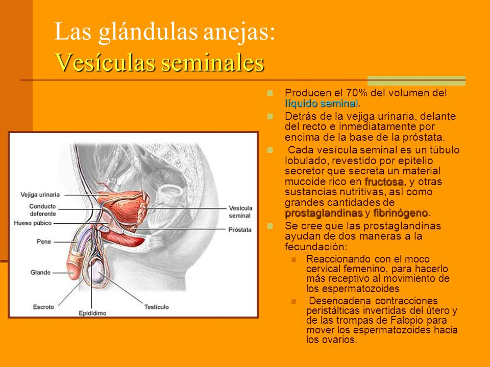 Las glándulas anejas: Vesículas seminales