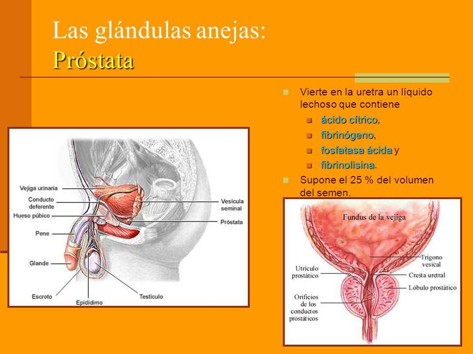 Las glándulas anejas: Próstata