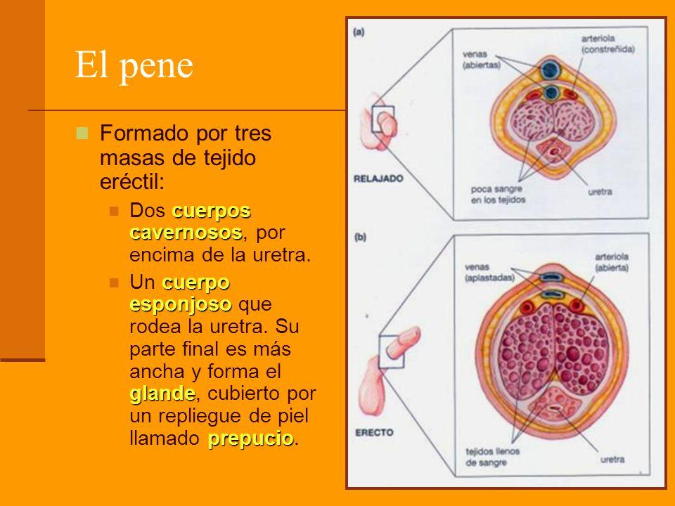 El pene Formado por tres masas de tejido eréctil: