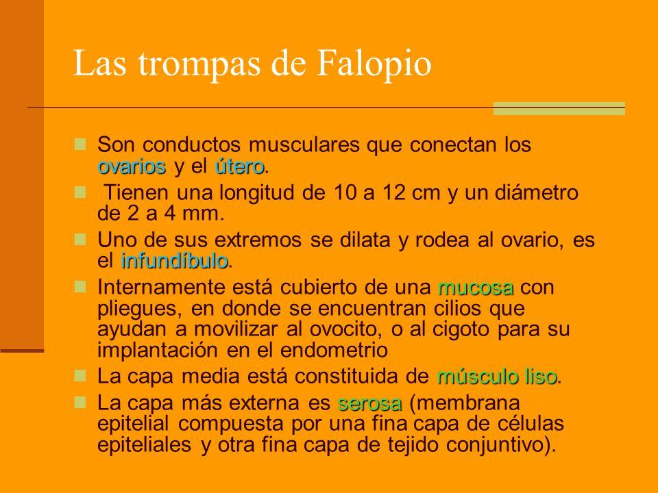Las trompas de Falopio Son conductos musculares que conectan los ovarios y el útero. Tienen una longitud de 10 a 12 cm y un diámetro de 2 a 4 mm.