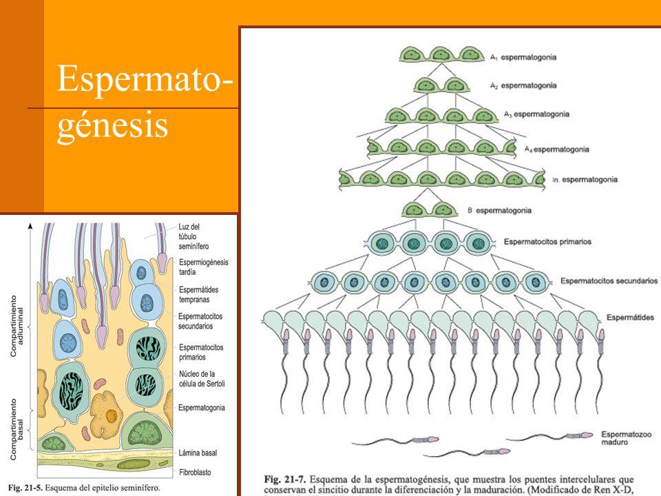 Espermato-génesis
