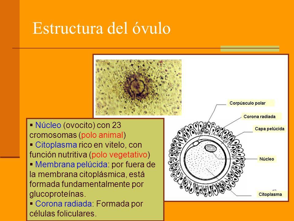 Estructura del óvulo Núcleo (ovocito) con 23 cromosomas (polo animal)
