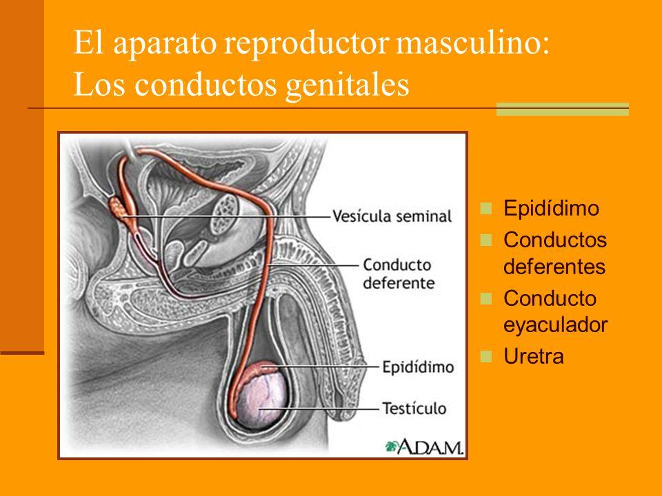 El aparato reproductor masculino: Los conductos genitales