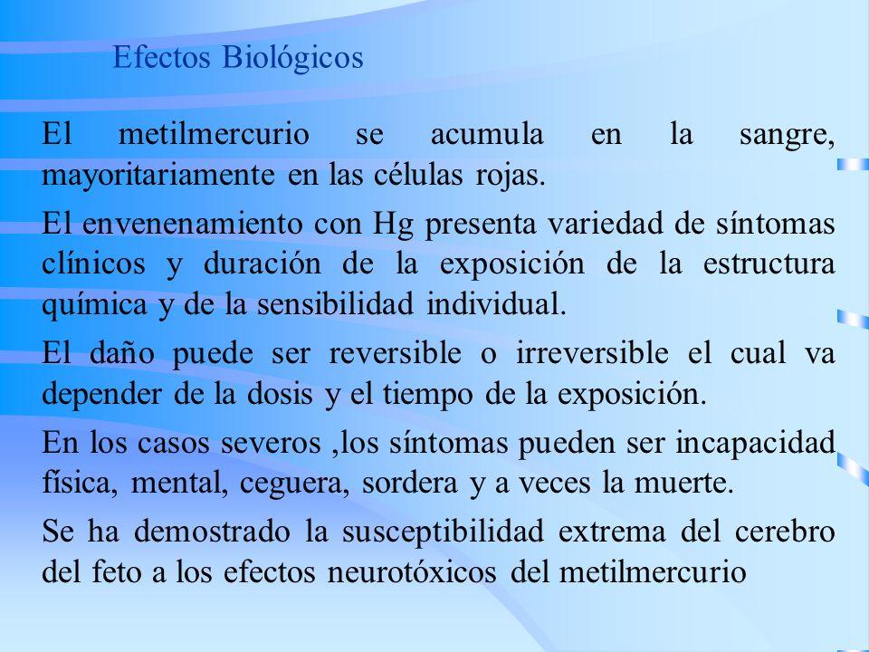 Efectos Biológicos El metilmercurio se acumula en la sangre, mayoritariamente en las células rojas.