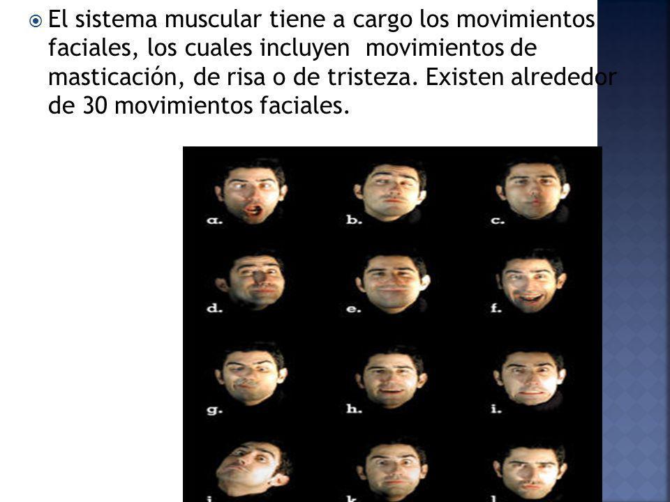 El sistema muscular tiene a cargo los movimientos faciales, los cuales incluyen movimientos de masticación, de risa o de tristeza.