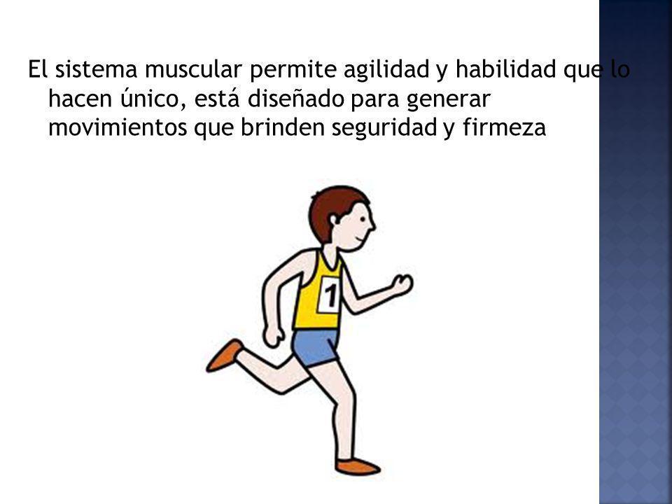 El sistema muscular permite agilidad y habilidad que lo hacen único, está diseñado para generar movimientos que brinden seguridad y firmeza
