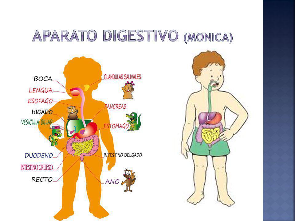 Aparato digestivo (Monica)