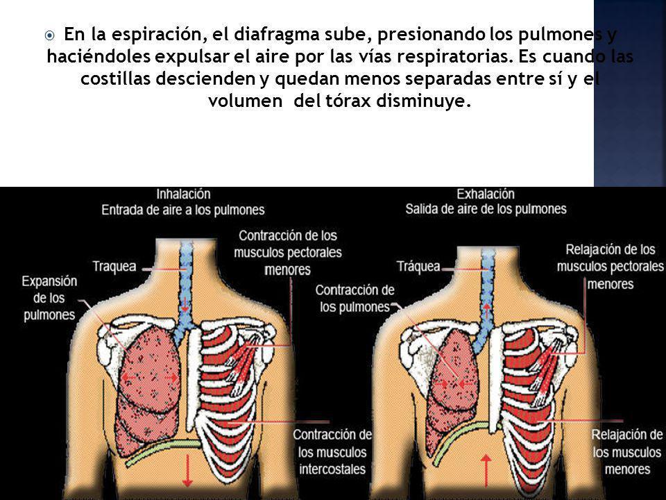 En la espiración, el diafragma sube, presionando los pulmones y haciéndoles expulsar el aire por las vías respiratorias.