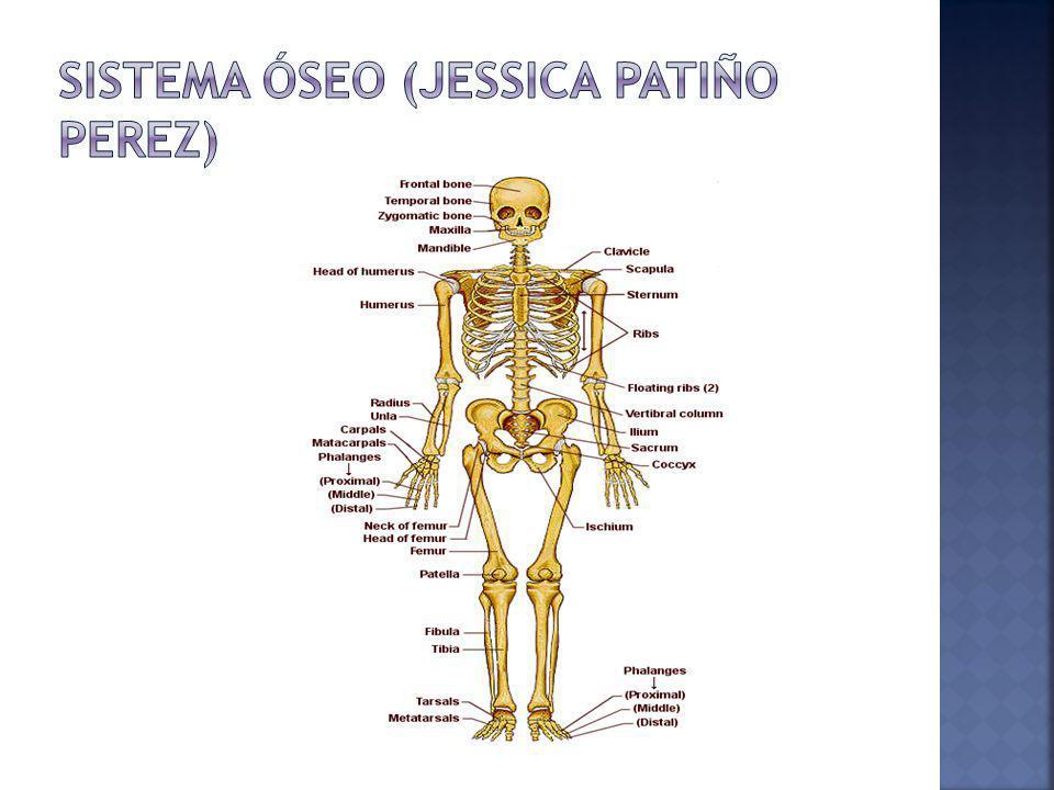 Sistema óseo (jessica patiño perez)