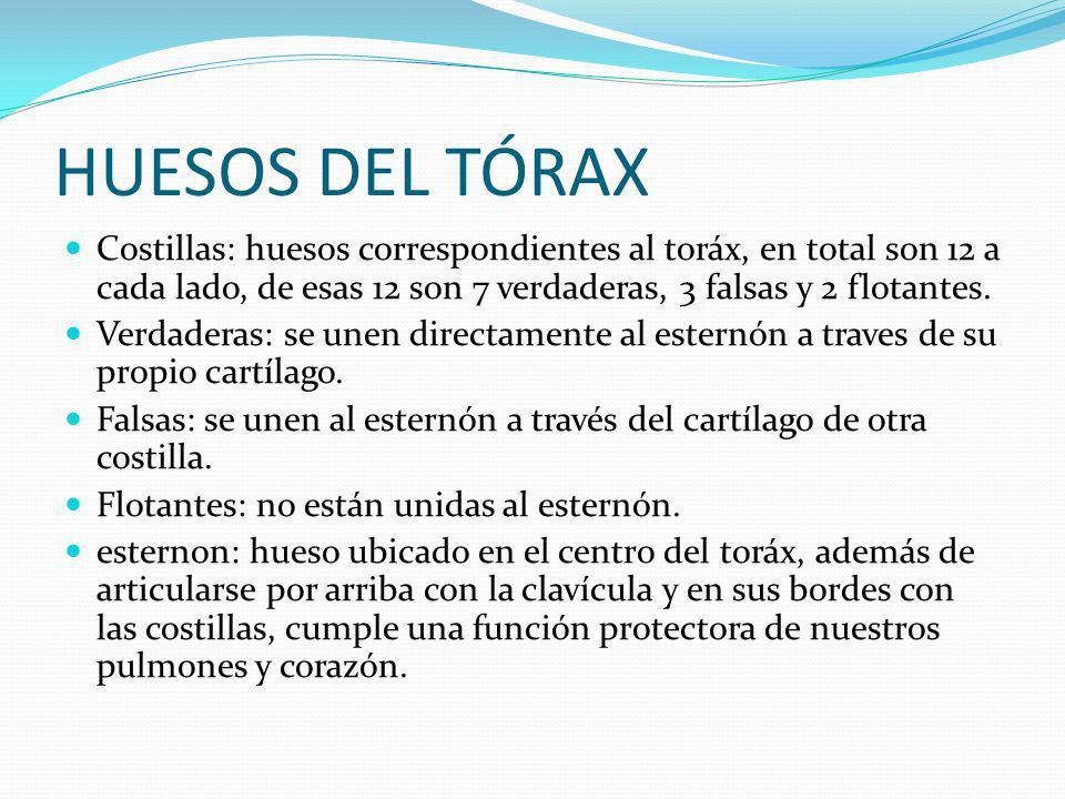 HUESOS DEL TÓRAX Costillas: huesos correspondientes al toráx, en total son 12 a cada lado, de esas 12 son 7 verdaderas, 3 falsas y 2 flotantes.
