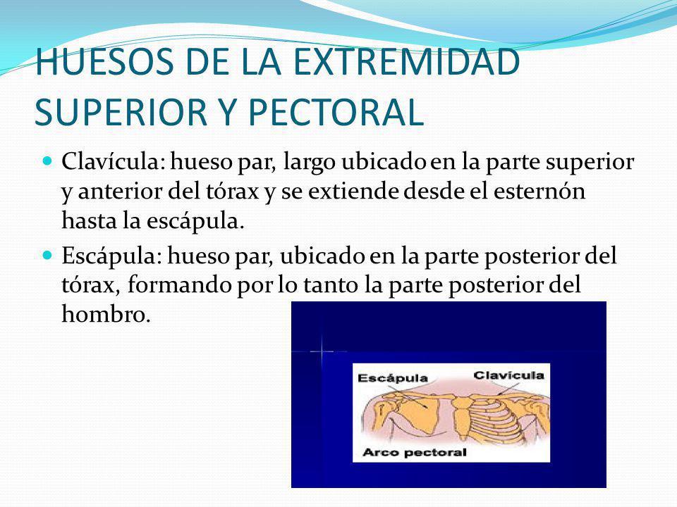 HUESOS DE LA EXTREMIDAD SUPERIOR Y PECTORAL