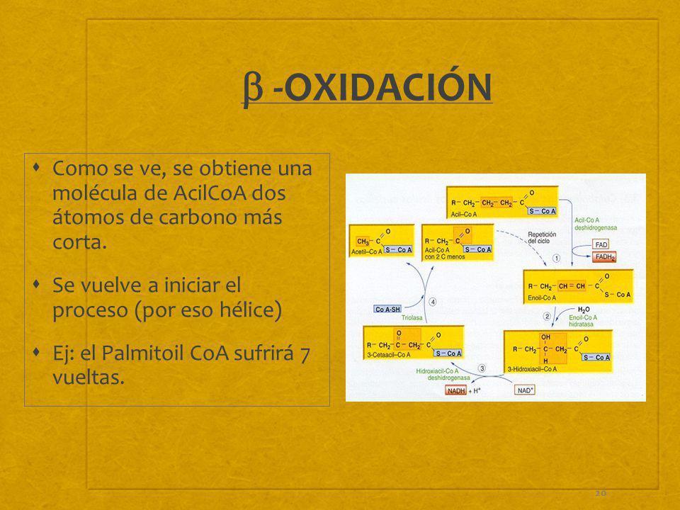 b -OXIDACIÓN Como se ve, se obtiene una molécula de AcilCoA dos átomos de carbono más corta. Se vuelve a iniciar el proceso (por eso hélice)