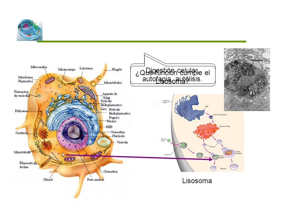 Digestión celular, autofagia, autólisis.