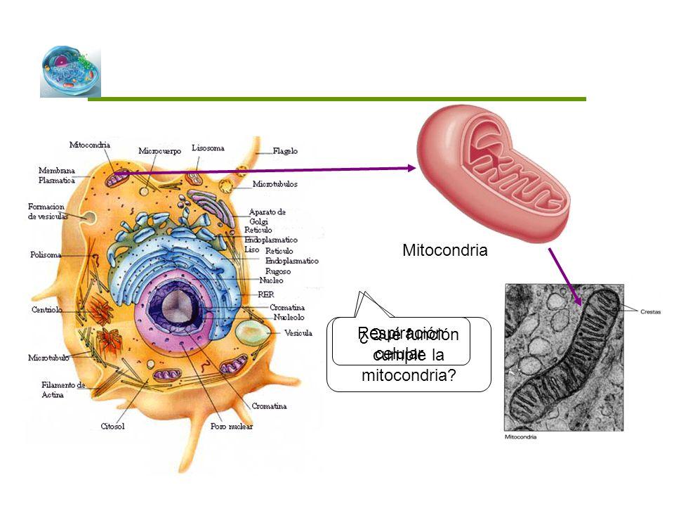¿Qué función cumple la mitocondria