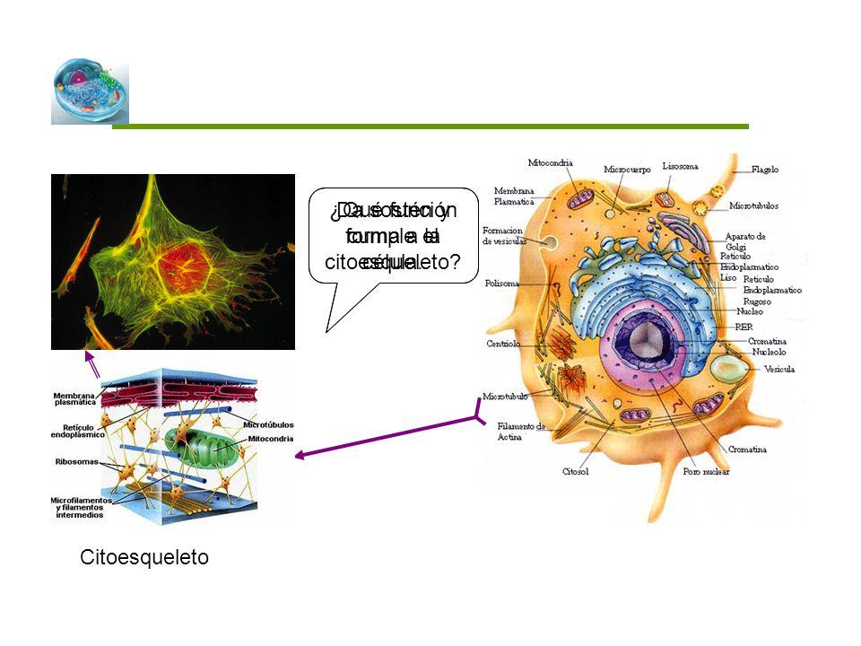 ¿Qué función cumple el citoesqueleto Da sostén y forma a la célula.