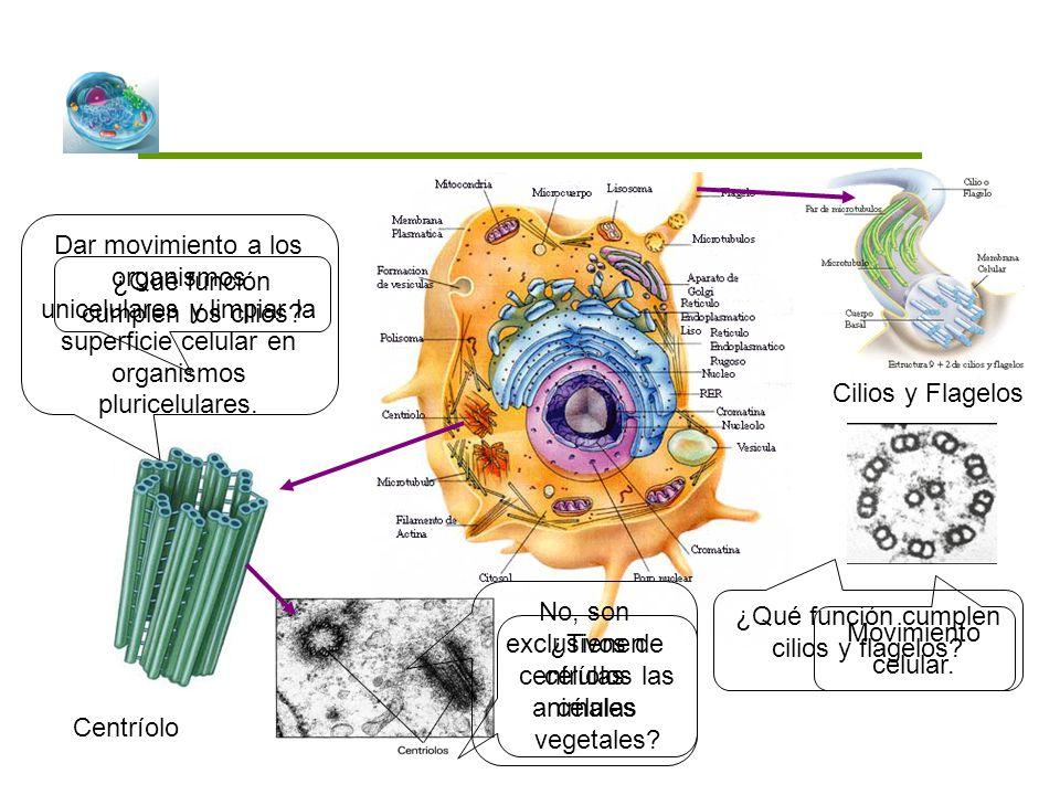 ¿Qué función cumplen los cilios