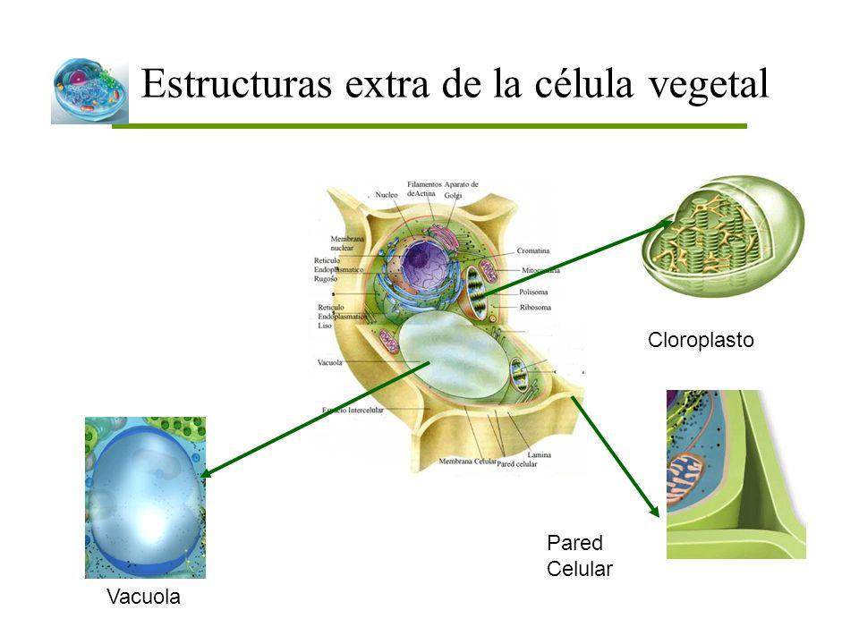 Estructuras extra de la célula vegetal