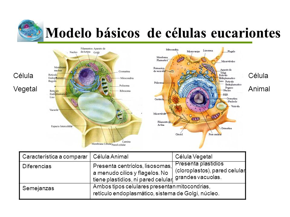 Modelo básicos de células eucariontes