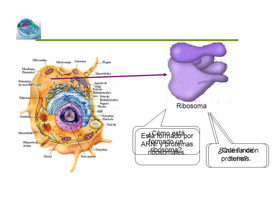 ¿Cómo está formado un ribosoma