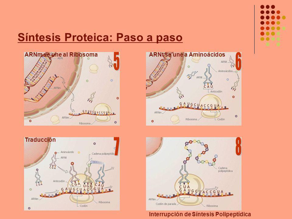 Síntesis Proteica: Paso a paso