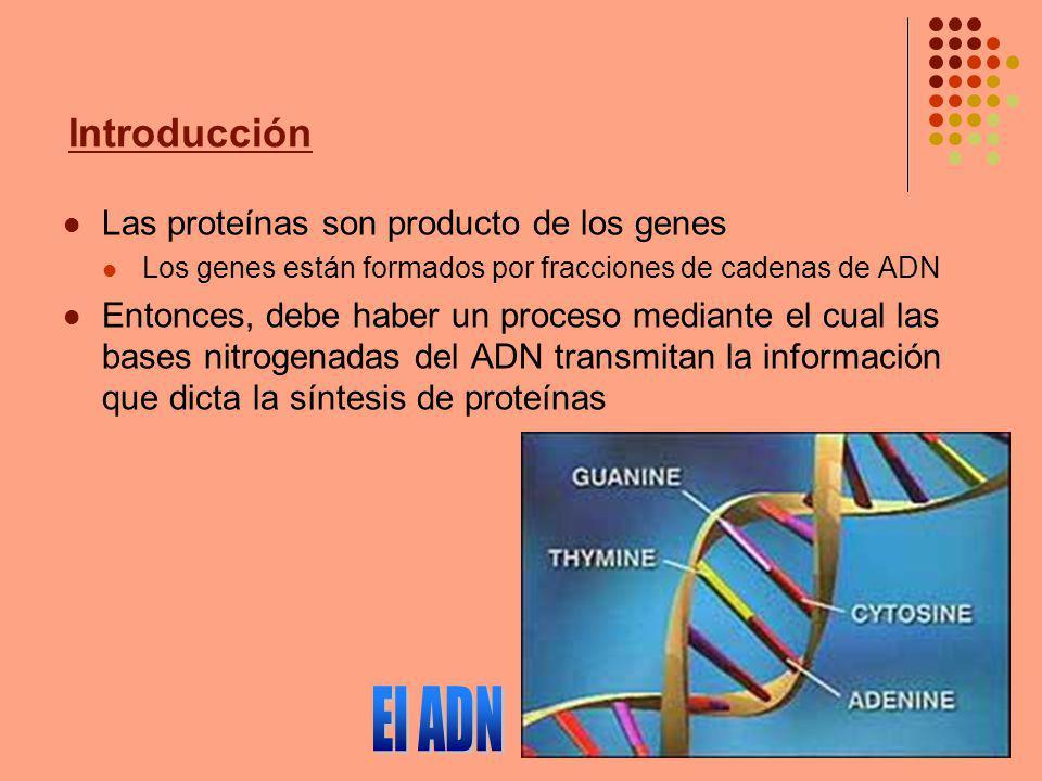 El ADN Las proteínas son producto de los genes