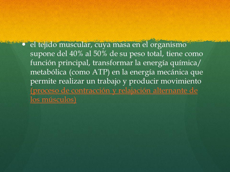 el tejido muscular, cuya masa en el organismo supone del 40% al 50% de su peso total, tiene como función principal, transformar la energía química/ metabólica (como ATP) en la energía mecánica que permite realizar un trabajo y producir movimiento (proceso de contracción y relajación alternante de los músculos)