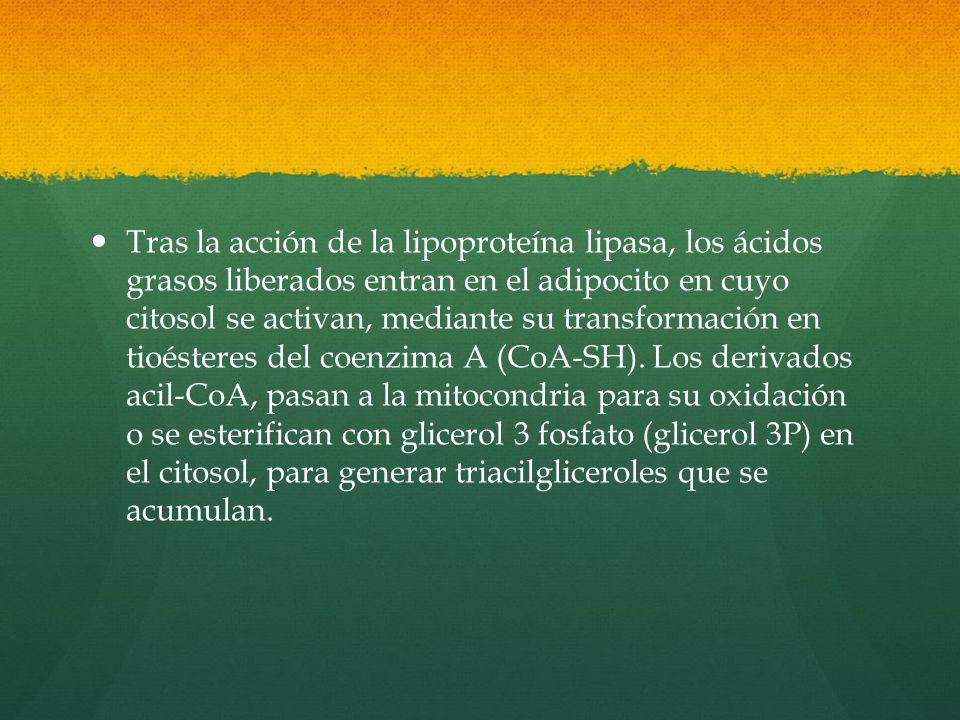 Tras la acción de la lipoproteína lipasa, los ácidos grasos liberados entran en el adipocito en cuyo citosol se activan, mediante su transformación en tioésteres del coenzima A (CoA-SH).