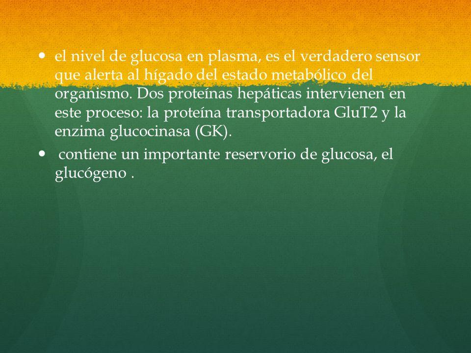 el nivel de glucosa en plasma, es el verdadero sensor que alerta al hígado del estado metabólico del organismo. Dos proteínas hepáticas intervienen en este proceso: la proteína transportadora GluT2 y la enzima glucocinasa (GK).