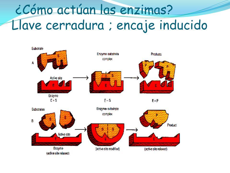 ¿Cómo actúan las enzimas Llave cerradura ; encaje inducido
