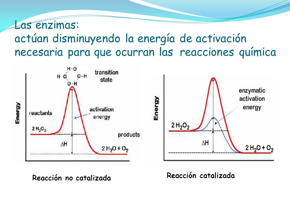 Las enzimas: actúan disminuyendo la energía de activación necesaria para que ocurran las reacciones química
