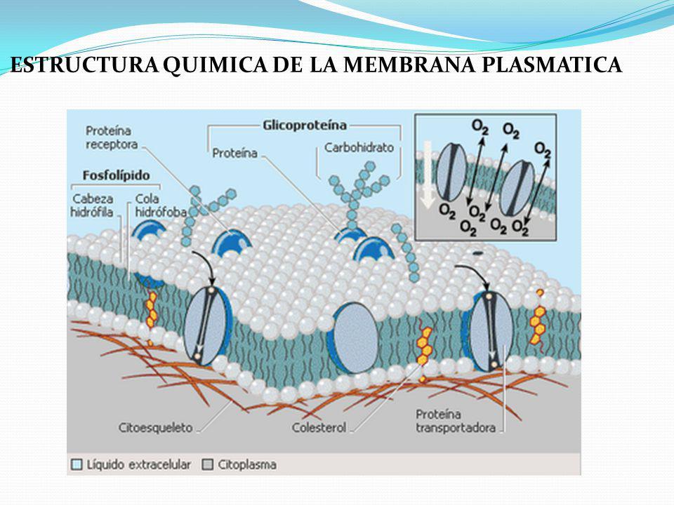 ESTRUCTURA QUIMICA DE LA MEMBRANA PLASMATICA