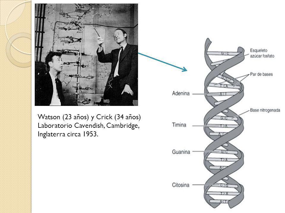 Watson (23 años) y Crick (34 años) Laboratorio Cavendish, Cambridge, Inglaterra circa 1953.