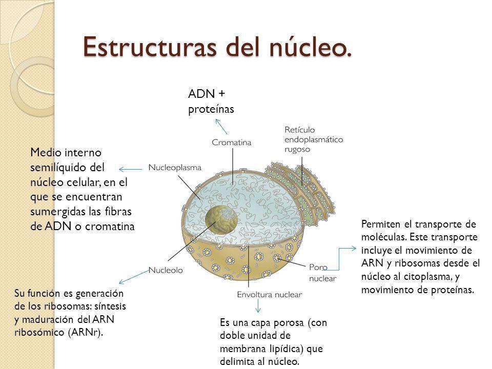 Estructuras del núcleo.