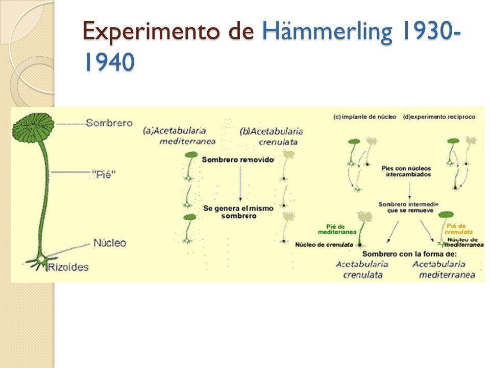 Experimento de Hämmerling 1930-1940