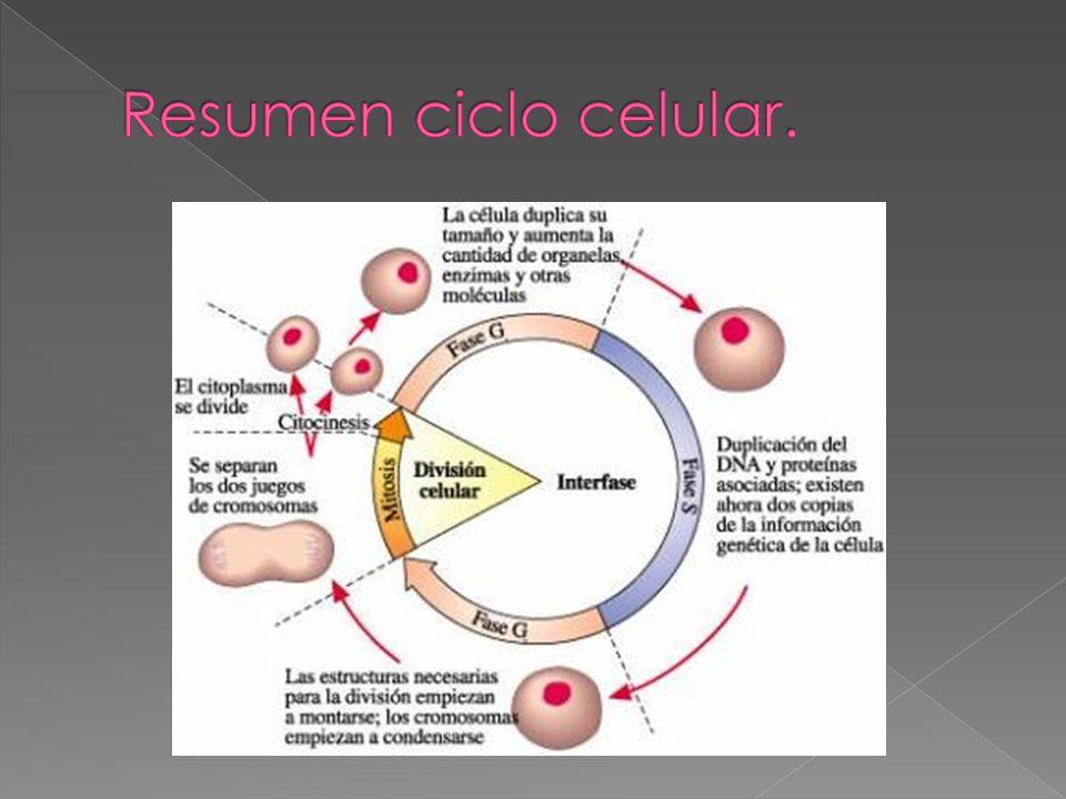Resumen ciclo celular.