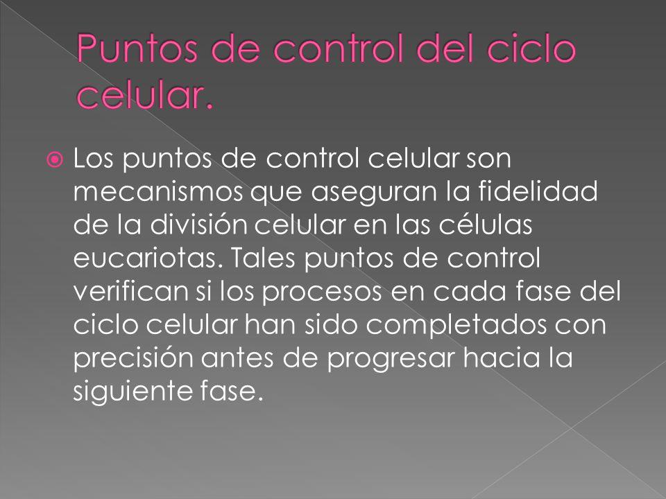 Puntos de control del ciclo celular.