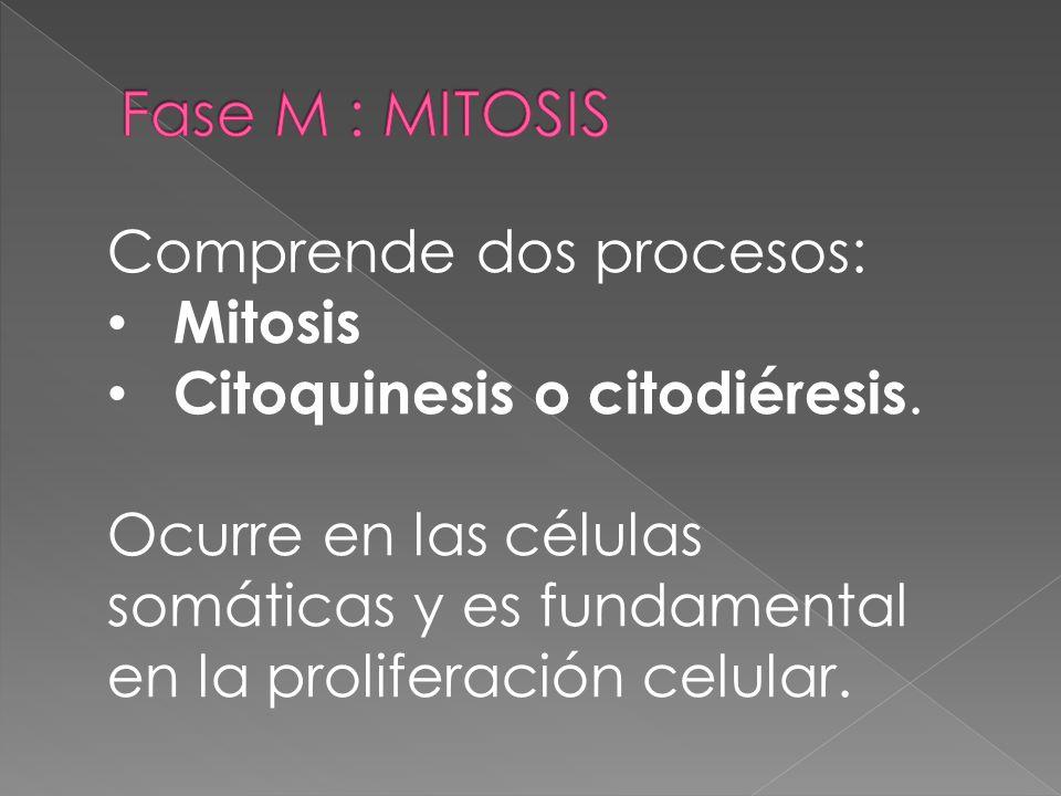 Fase M : MITOSIS Comprende dos procesos: Mitosis