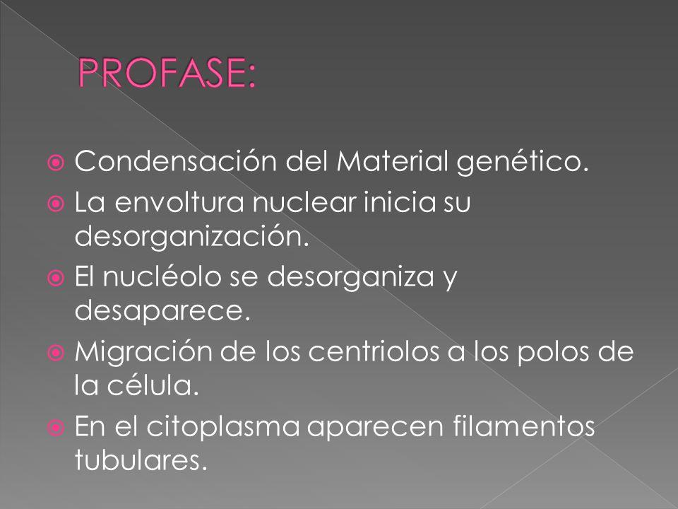 PROFASE: Condensación del Material genético.