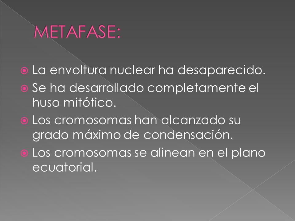 METAFASE: La envoltura nuclear ha desaparecido.