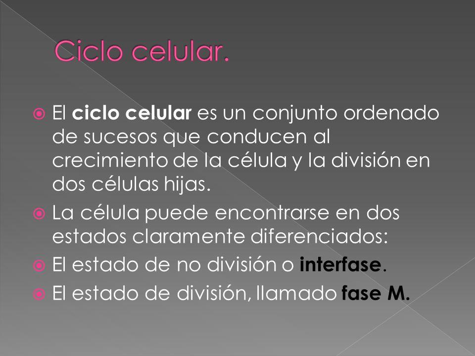 Ciclo celular. El ciclo celular es un conjunto ordenado de sucesos que conducen al crecimiento de la célula y la división en dos células hijas.