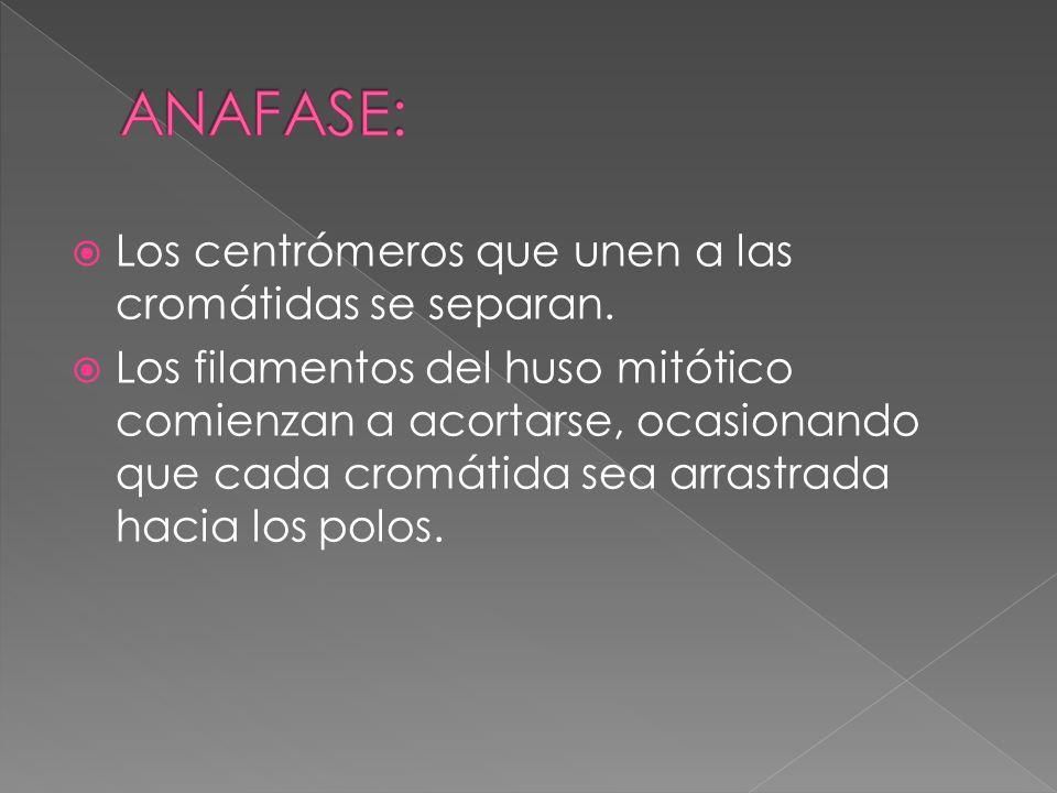 ANAFASE: Los centrómeros que unen a las cromátidas se separan.