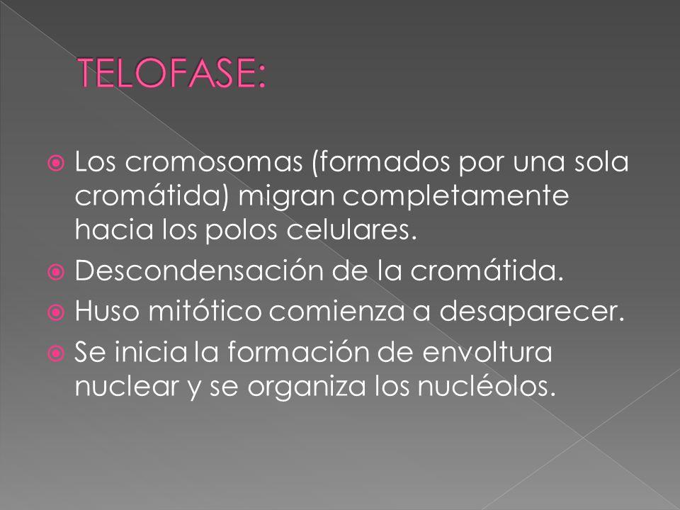 TELOFASE: Los cromosomas (formados por una sola cromátida) migran completamente hacia los polos celulares.