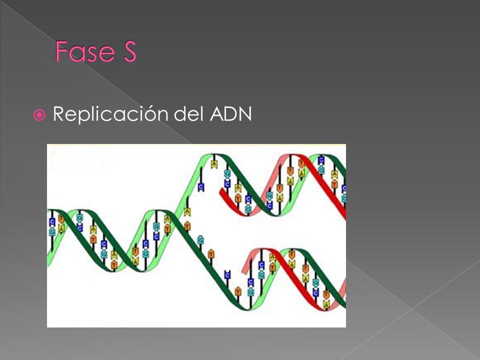 Fase S Replicación del ADN