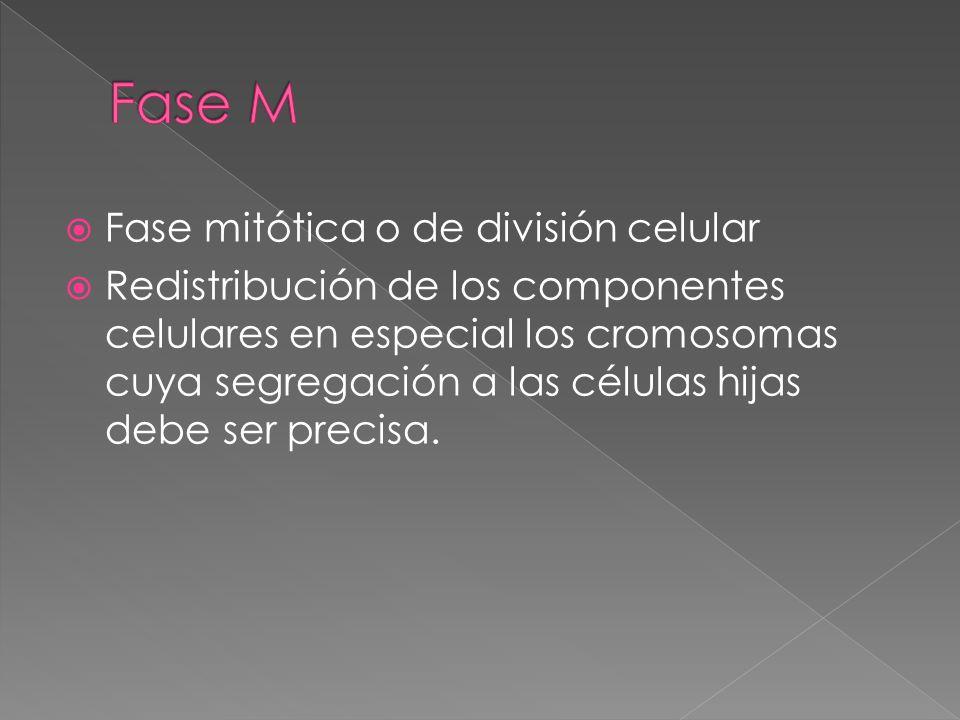 Fase M Fase mitótica o de división celular