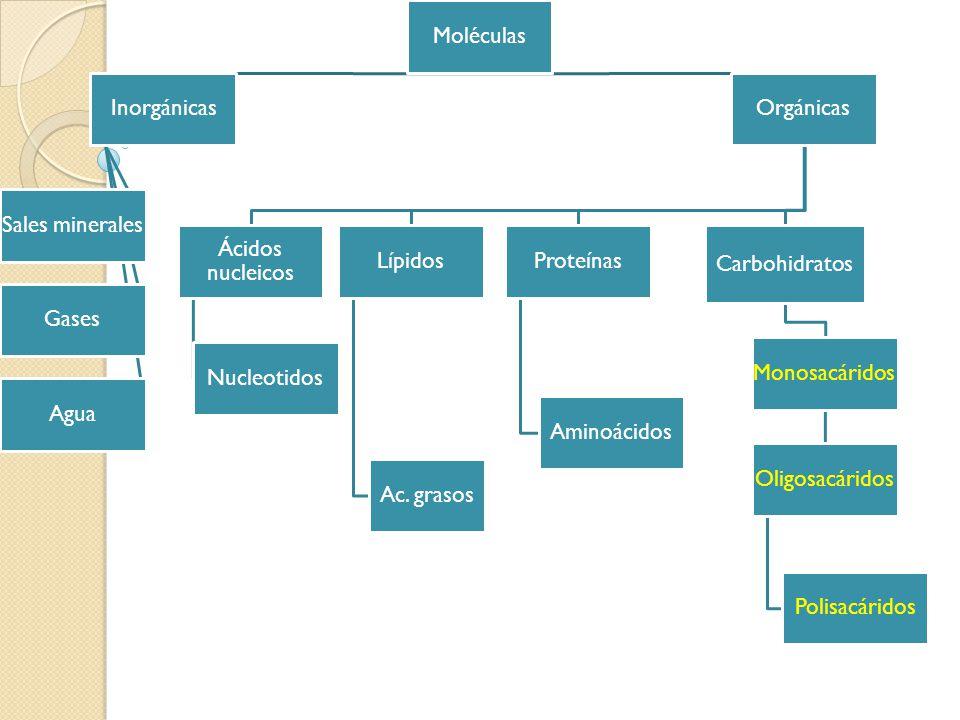 Moléculas Inorgánicas. Sales minerales. Gases. Agua. Orgánicas. Ácidos nucleicos. Nucleotidos.
