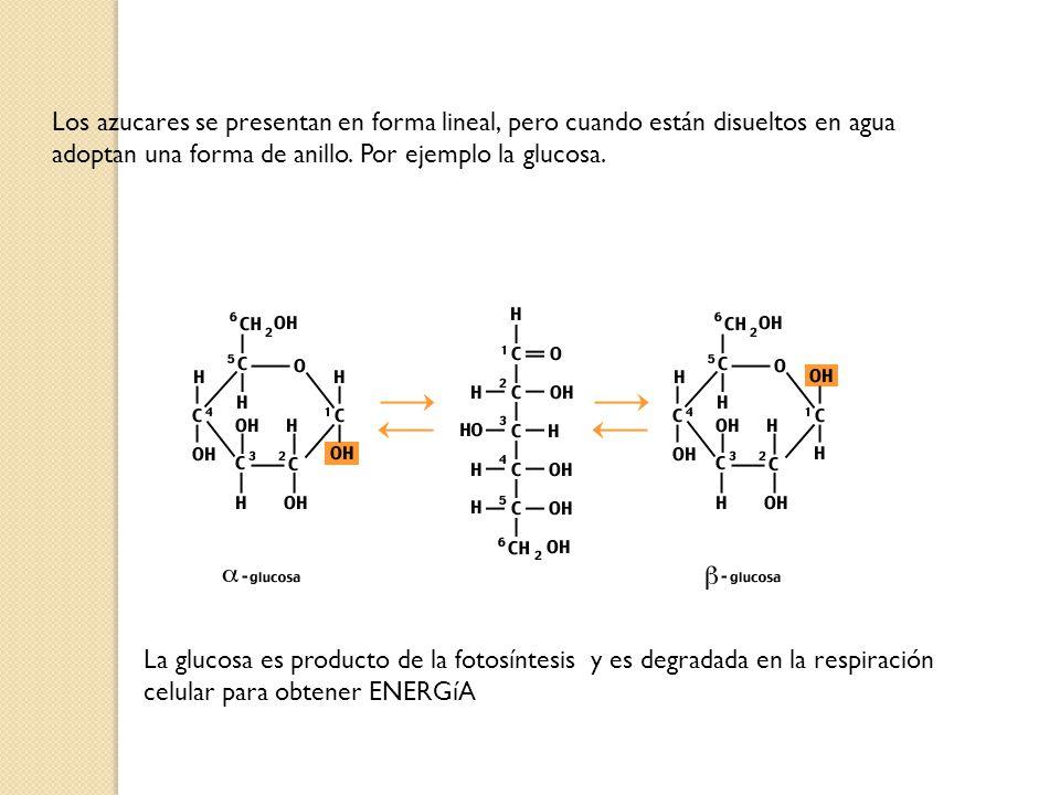 Los azucares se presentan en forma lineal, pero cuando están disueltos en agua adoptan una forma de anillo. Por ejemplo la glucosa.