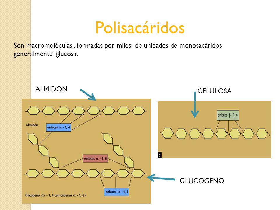Polisacáridos Son macromoléculas , formadas por miles de unidades de monosacáridos generalmente glucosa.