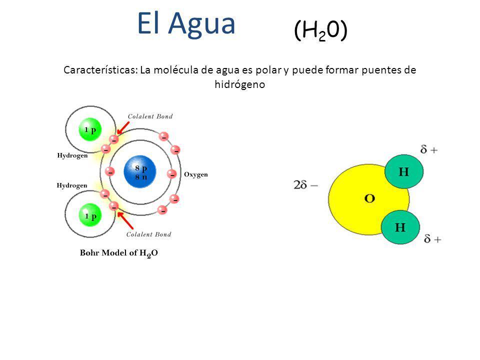 El Agua (H20) Características: La molécula de agua es polar y puede formar puentes de hidrógeno