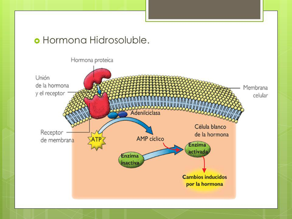 Hormona Hidrosoluble.
