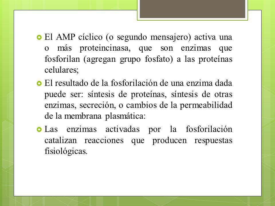 El AMP cíclico (o segundo mensajero) activa una o más proteincinasa, que son enzimas que fosforilan (agregan grupo fosfato) a las proteínas celulares;